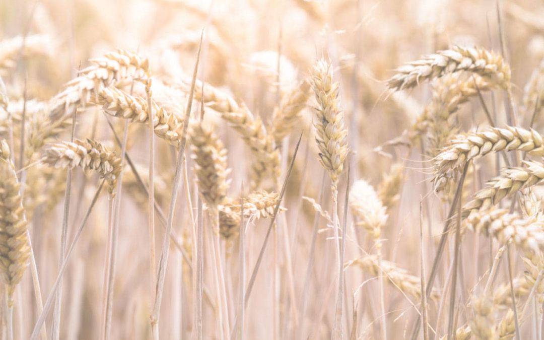 Composición del Trigo y Patologías que puede conllevar el Gluten